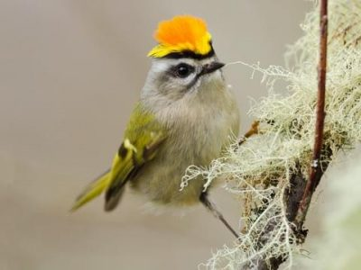 Titmouse-like kinglet